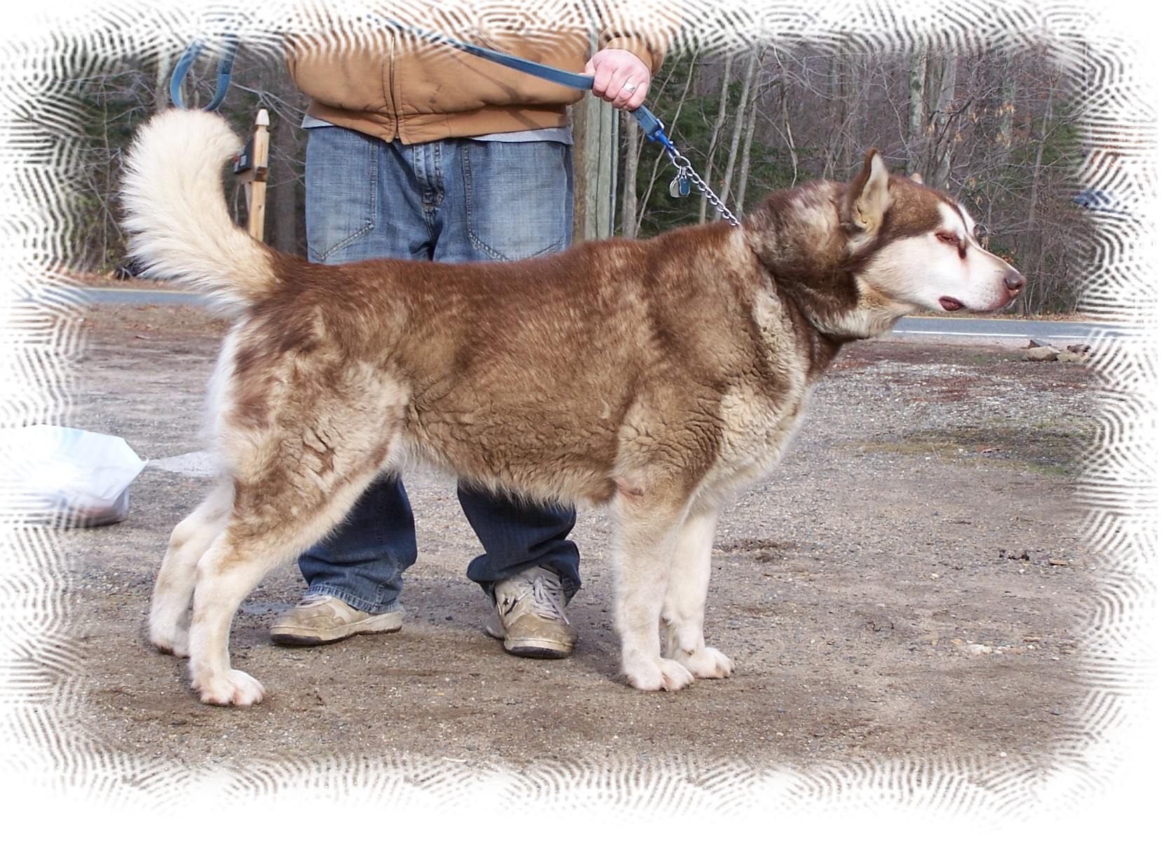 Alaskan Malamute Walking Powered By God Kennel