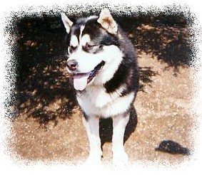 Alaskan Malamute Starring Powered By God Kennel